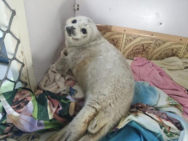 俄羅斯遠東近日發生小海豹「聶莉」被沖上岸,引來當地民眾團團包圍撫摸與拍照,導致牠承受不住龐大壓力而死亡。畫面翻攝:FACEBOOK/sealrehab