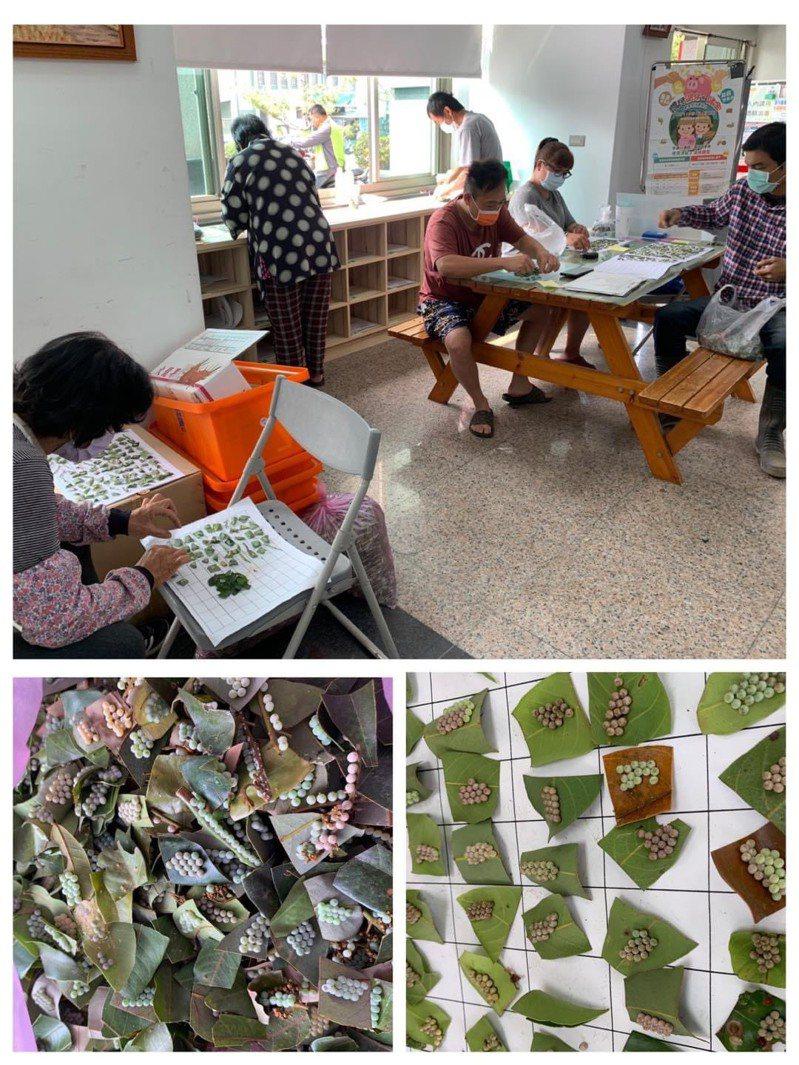 中埔鄉公所人員清點農民繳交的荔枝椿象蟲卵葉片。記者魯永明/翻攝