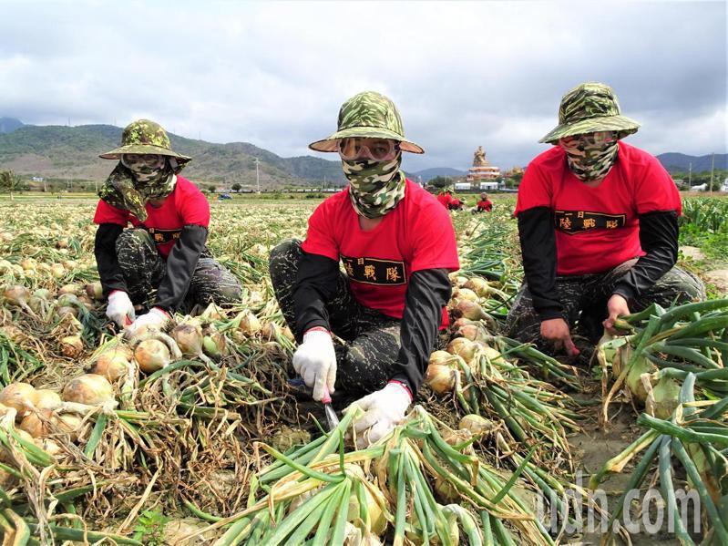 海軍陸戰隊展開為期40天、每天200人的恆春半島洋蔥助收任務,身著紅色制式T恤的海陸弟兄,戴上護目鏡、口罩和手套下田採收。記者潘欣中/攝影