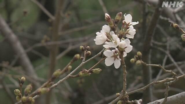 日本廣島縣櫻花11日開花,創全國最早開花紀錄。(取自NHK)