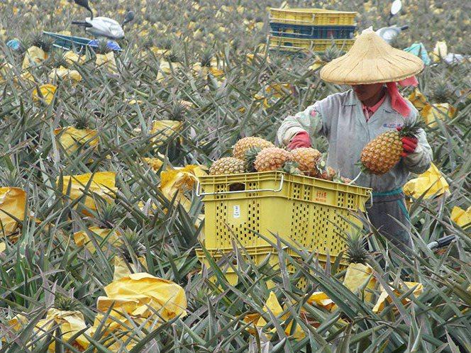 屏東是國內鳳梨最大產地,有農民除了生鮮鳳梨外,也轉投入鳳梨加工品、鳳梨處理等一條龍經營,借此分散經營風險。圖/屏東龍潭果菜生產合作社提供