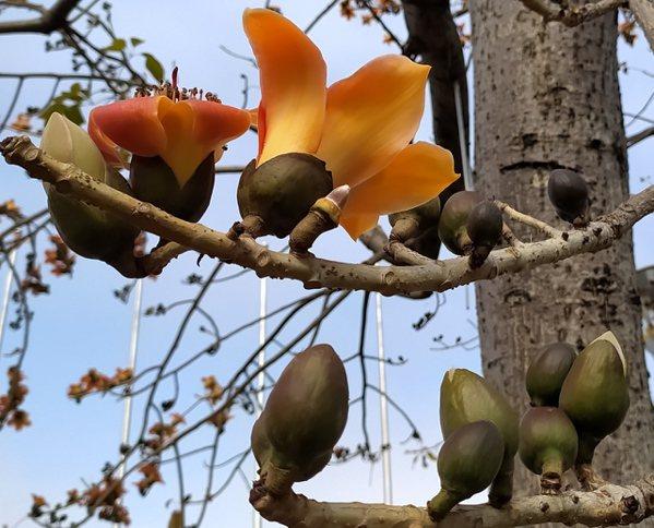 木棉科下有五屬,猢猻木屬,木棉屬、吉貝木棉屬、美人樹屬、馬拉巴栗(發財樹)屬。 ...