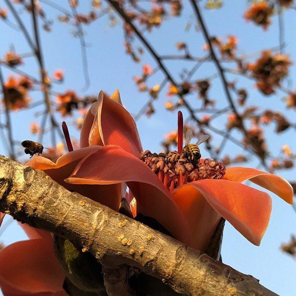 年輕的木棉樹,樹幹長有刺瘤以自衛;先落葉後開花,不需要綠葉襯托,確實幾分英雄氣概...