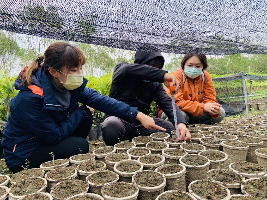 花蓮林管處中原苗圃,嘗試以紙漿盆直接育苗。 圖/花蓮林管處