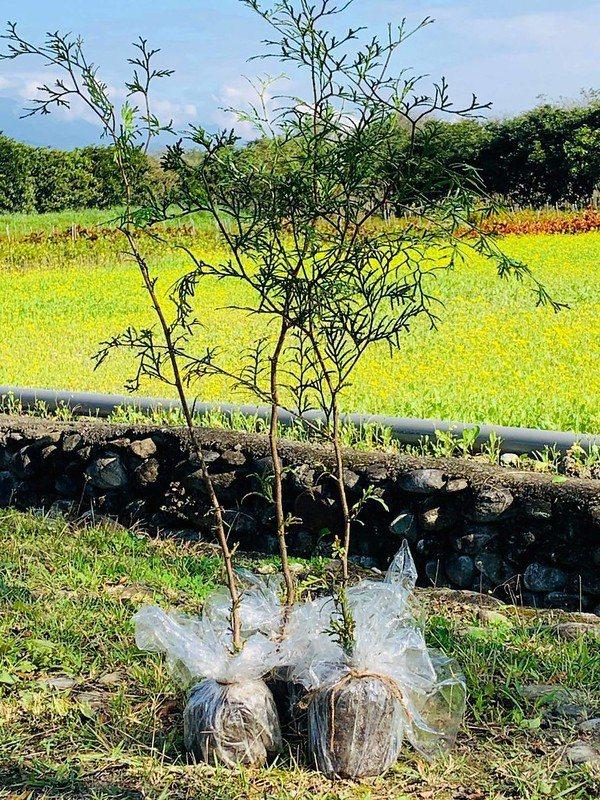 以玻璃紙包裝的台灣肖楠小苗。 圖/花蓮林管處