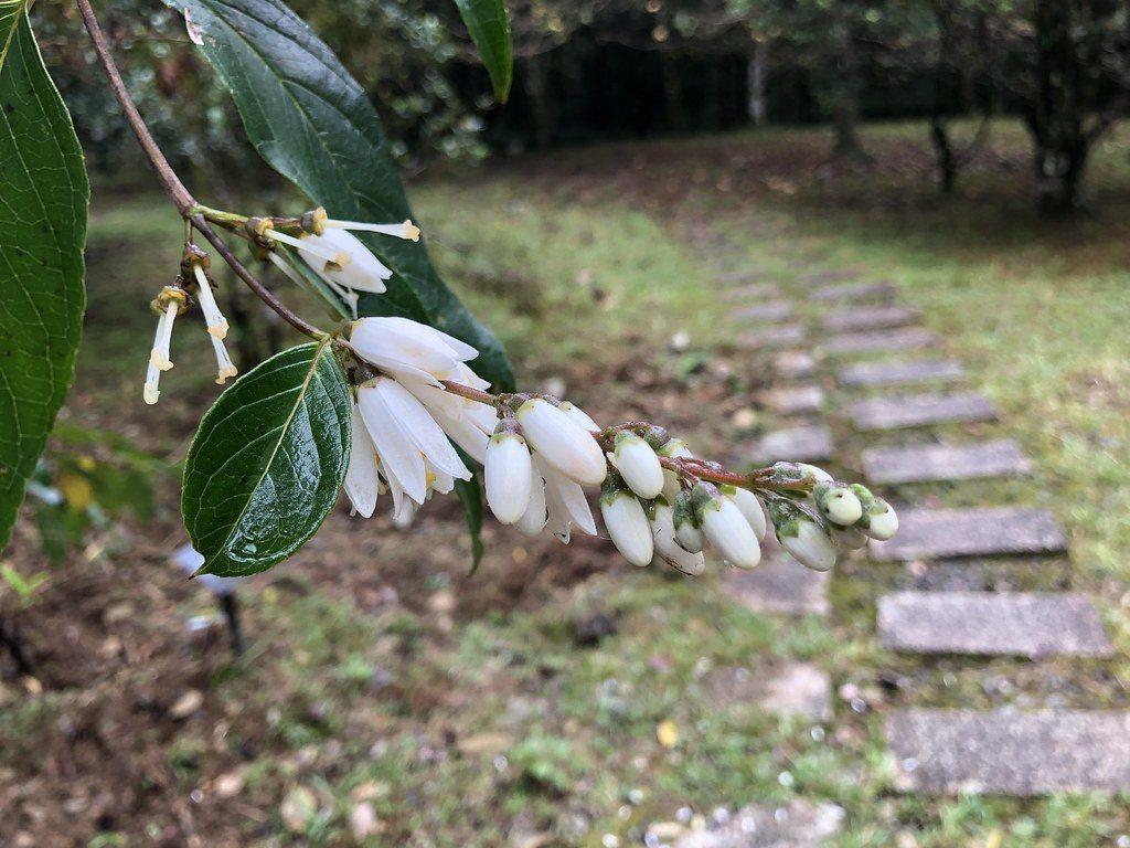 今年羅東處贈苗樹種之一大葉溲疏,用可分解容器護花又護土。 圖/廖靜蕙 攝影