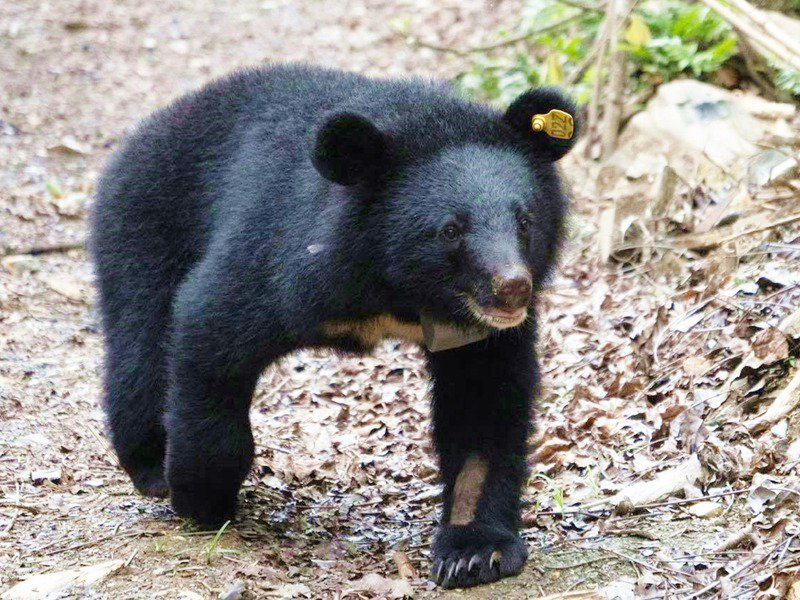 台東林管處照養台灣黑熊時,要採集74種食材,其中還有特定植物,須長途跋涉,為黑熊們採集,圖為廣原小熊Mulas。記者羅紹平/翻攝