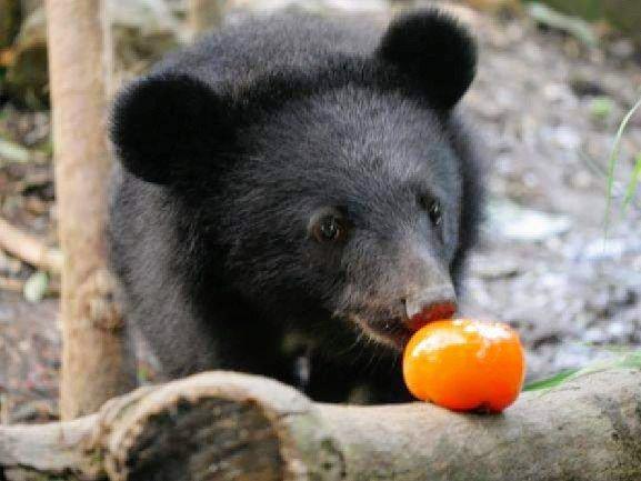 玉山國家公園的台灣黑熊族群密度很高,玉管處25年來進行台灣黑熊監測、系統性調查、研究等保育工作,今天起推出檔案特展,讓遊客了解黑熊保育歷程及過去相關推動工作檔案。圖為示意圖。圖/台灣黑熊保育協會提供