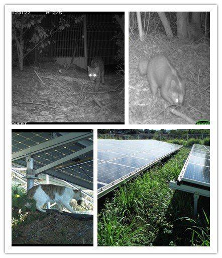 有圖有真相!普登科技位於苗栗北勢窩段的太陽光電廠,現場拍攝到石虎、白鼻心及鼬獾等...