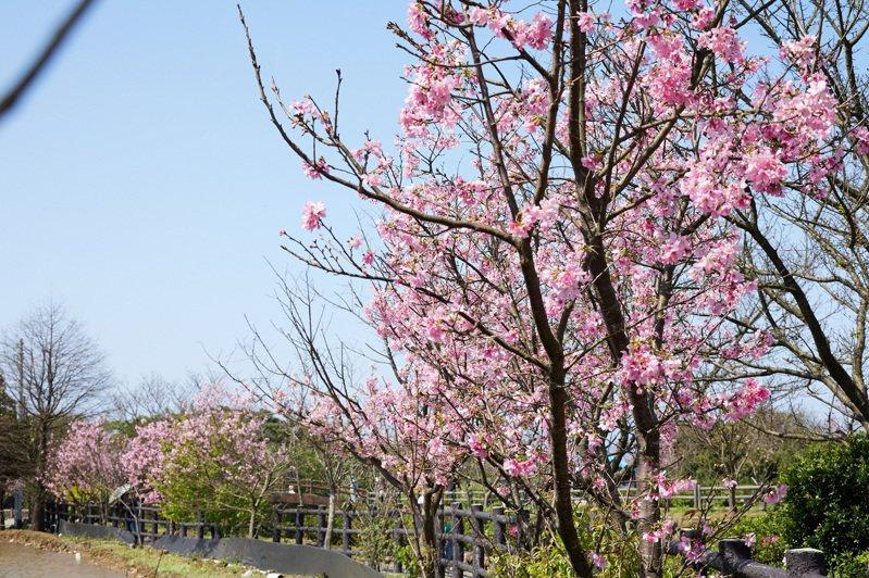 位在三芝的三生步道是知名的賞櫻景點。圖/新北市景觀處提供
