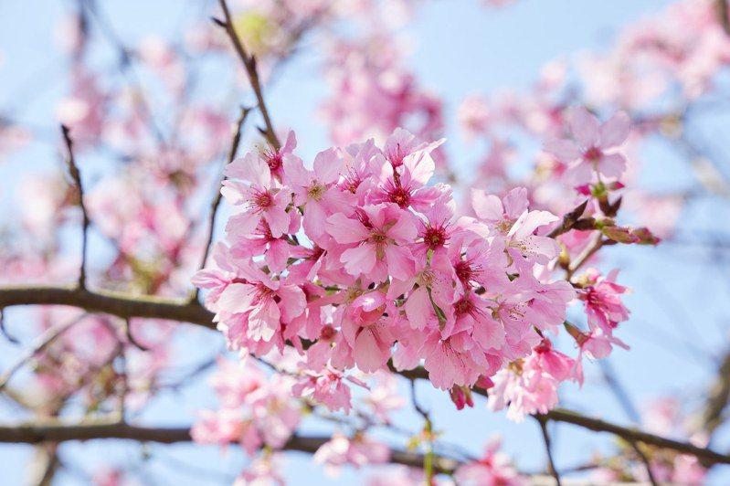 櫻花季到來,新北市三芝三生步道的吉野櫻也正盛開。圖/新北市景觀處提供