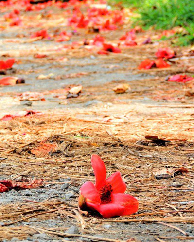 春天是木棉花開花季節,花瓣掉落地面的漿汁潛藏機車輪胎打滑危險。聯合報資料照片 記者潘欣中/攝影