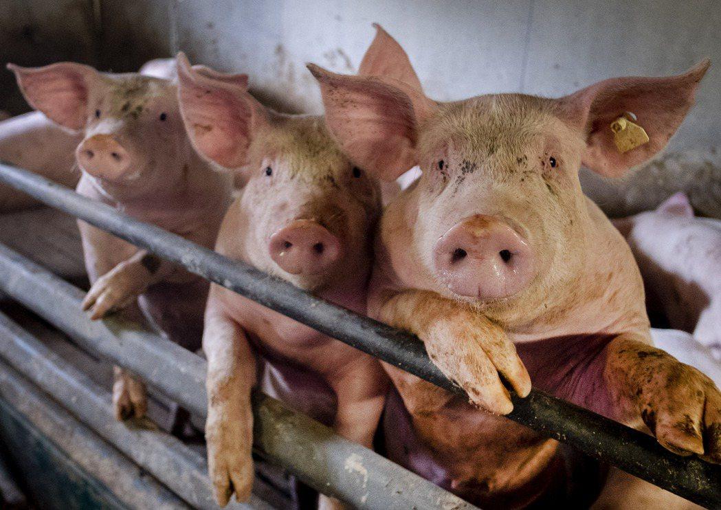 泰國2020年的活豬出口額逆勢暴增339%。美聯社