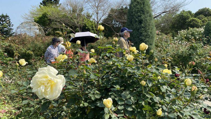 台北玫瑰園中萬紫千紅玫瑰現正綻放中,成為今年春季最夯賞花、打卡聖地。圖/北市公園處提供