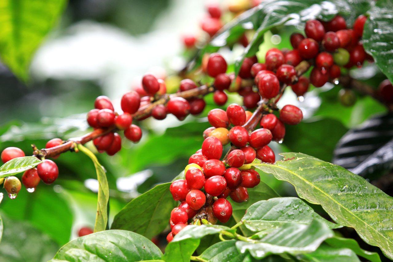 咖啡果有抗氧化特性,有助於活躍思緒。 圖/Shutterstock提供