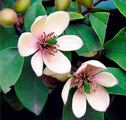 含笑花,適合東向陽台種植的植物 圖/台灣廣廈授權使用