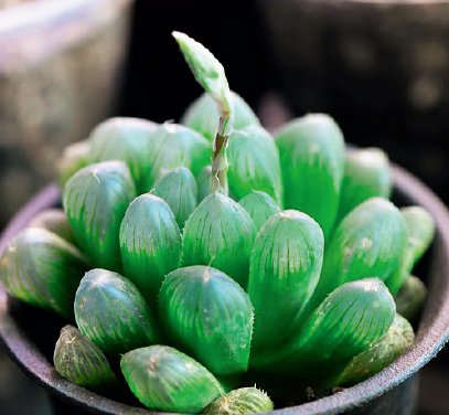 水晶掌,適合東向陽台種植的植物 圖/台灣廣廈授權使用