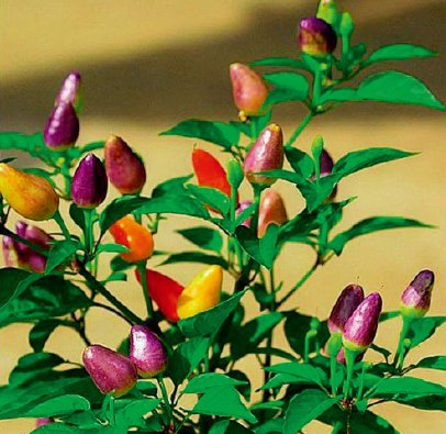 五彩觀賞辣椒,適合南向陽台種植的植物 圖/台灣廣廈授權使用