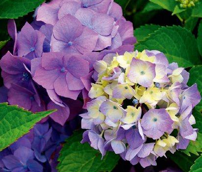 繡球花,適合西向陽台種植的植物 圖/台灣廣廈授權使用