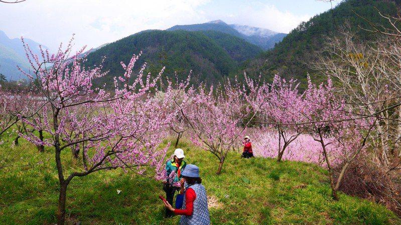 武陵櫻花季結束後,換桃花盛開,成另一種桃花園美景。圖/武陵農場提供