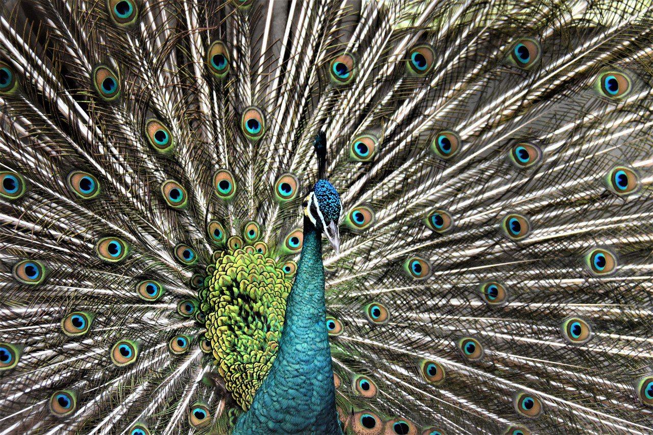 鳥園裡住著綠孔雀、藍孔雀和白孔雀。綠孔雀分佈在東南亞的緬甸、爪哇等地,藍孔雀則在...