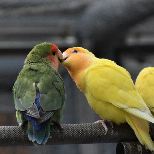 愛情鳥原來就愛接吻,春天的吻更加陶醉。 圖/沈正柔 提供