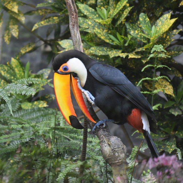 巨嘴鳥的大嘴,像兩片鮮艶橙黃的塑膠片,眼睛藍色虹彩裡轉動的黑眼珠透著好奇。 圖/...