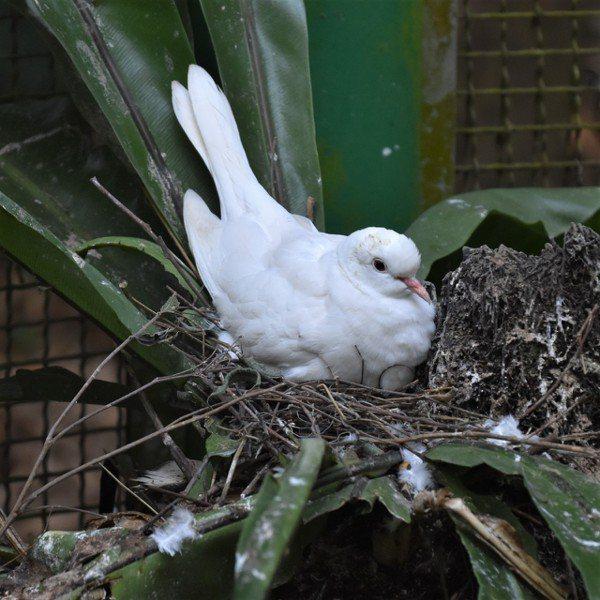 小白鳩坐在巢裡,一面孵蛋一面嗑睡 圖/沈正柔 提供
