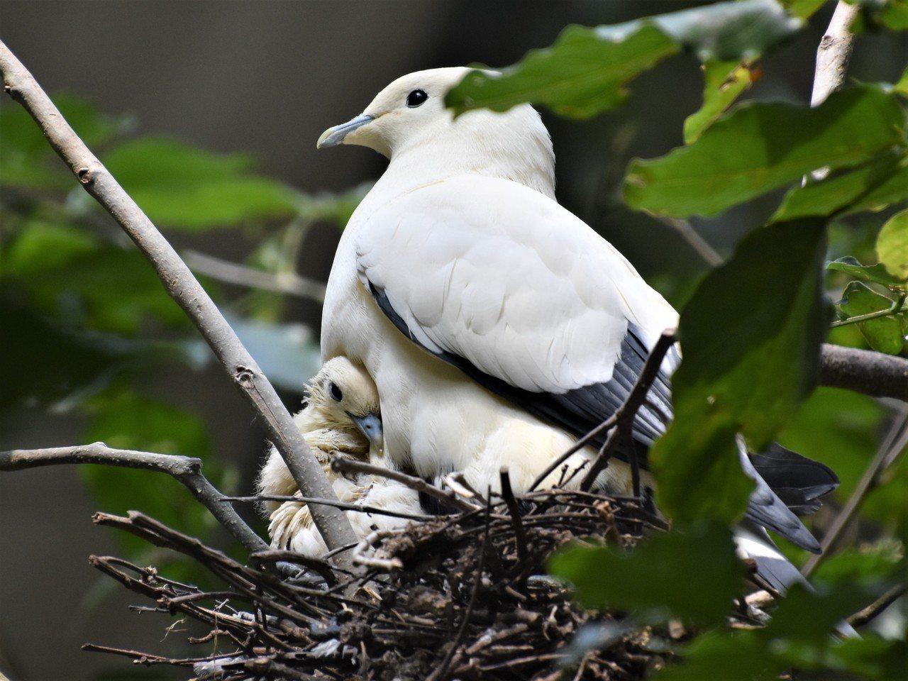 白皇鳩也蹲在窩裡,小鳥依偎在媽媽懷裡,不時伸出頭來窺伺來客。 圖/沈正柔 提供