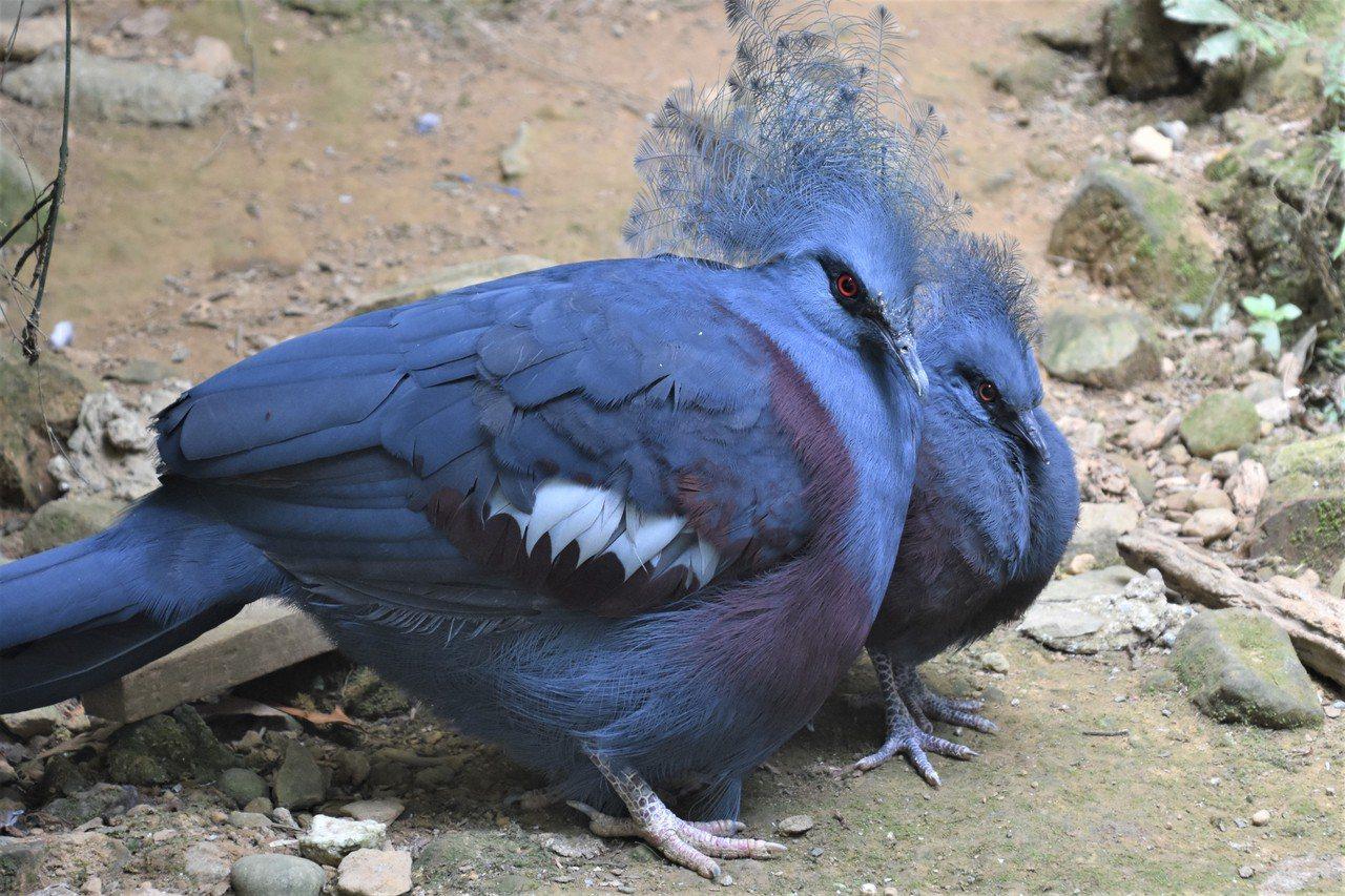 原產新幾內亞的藍冠鴿也是本土園住户,多半靜靜站著打量來客 圖/沈正柔 提供