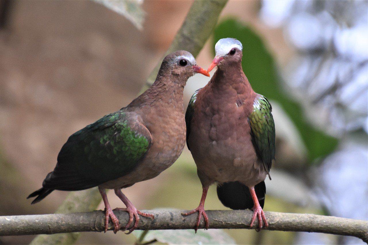 原產於東南亞的翠翼鳩忙著談戀愛,早些修成正果的已在巢中孵卵。 圖/沈正柔 提供