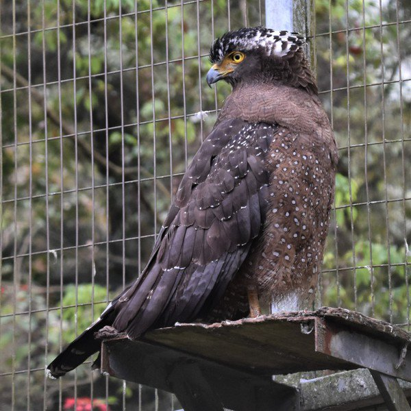 大冠鷲屬中大型猛禽,喜歡乘著氣流盤旋天際 圖/沈正柔 提供