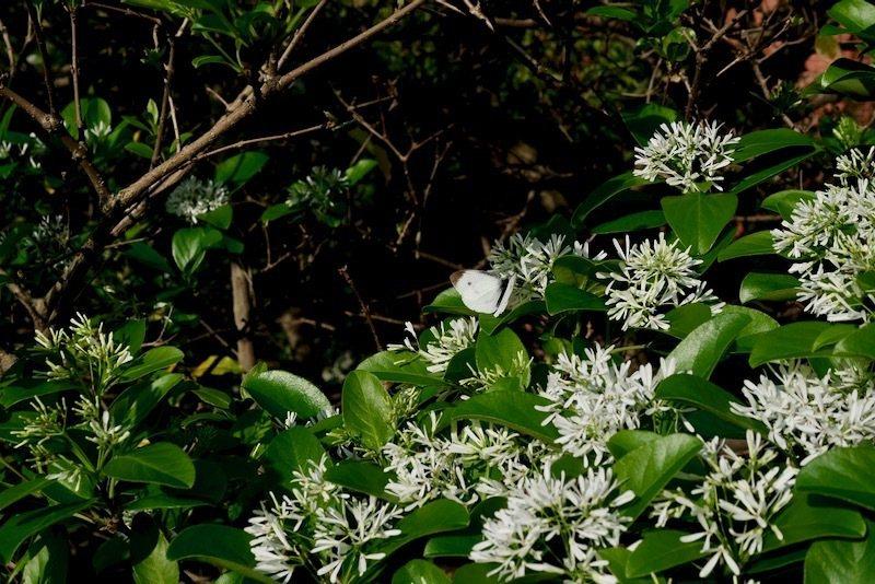 誘蝶植物,不時就會看到看到飛舞的蝴蝶。