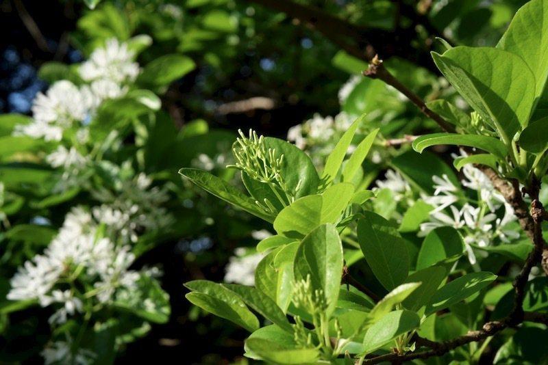 花苞長出來的流蘇樹。