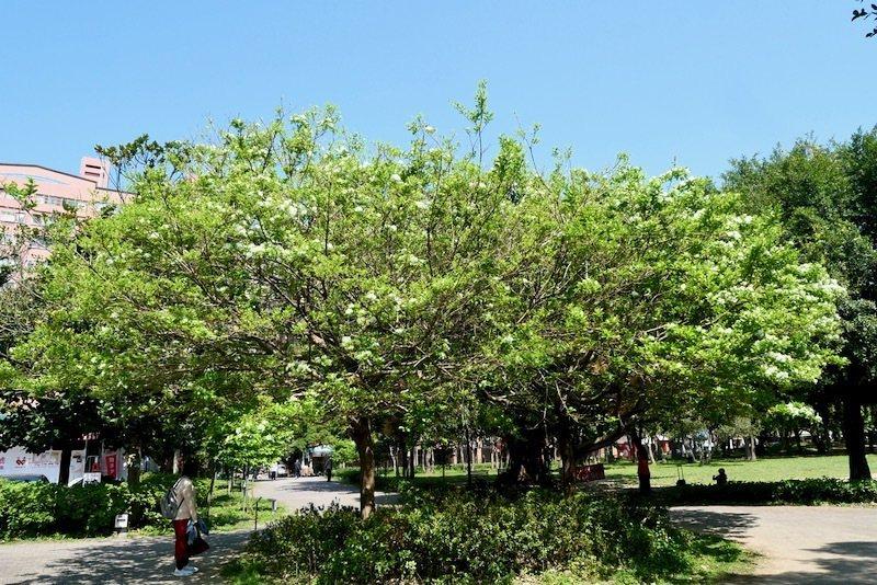號稱流蘇王並排的二棵流蘇樹,花開只三成左右。