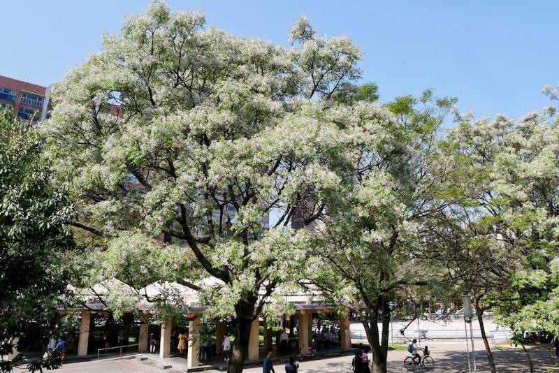 苦楝樹開了花。