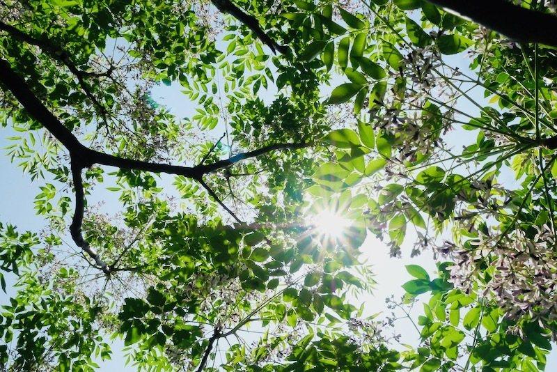 苦楝的樹型和枝幹很美,聞花香中再抬起頭欣賞枝幹的線條之美。