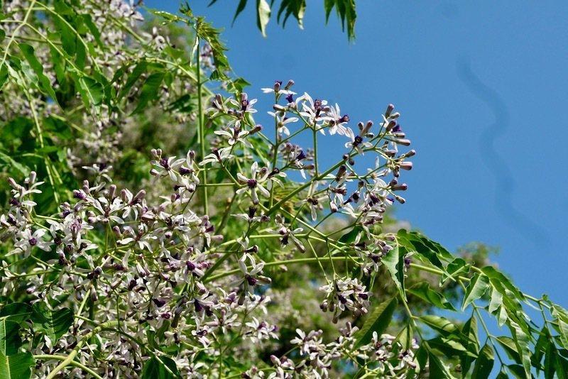花苞還很多的苦楝樹。