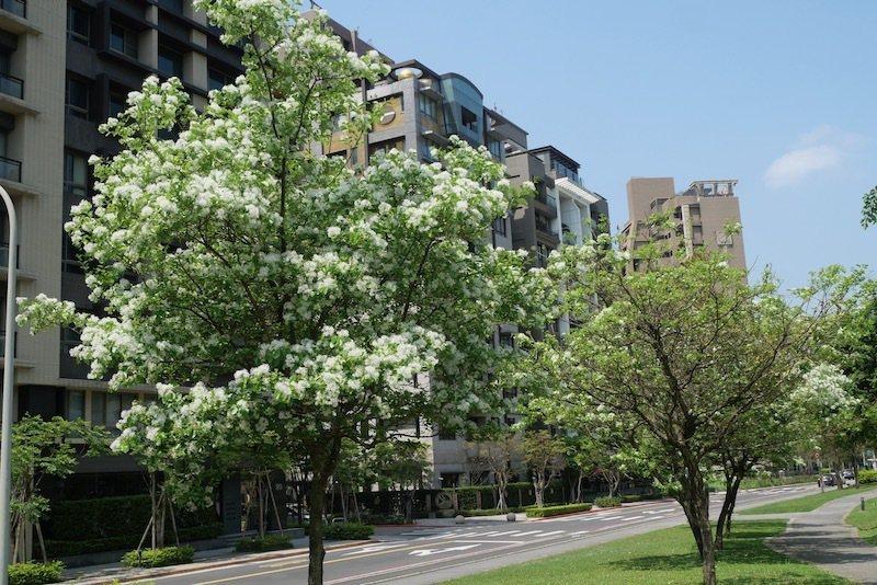 左邊的流蘇樹花開滿樹,右邊的這一顆不知道是不是開過了呢?
