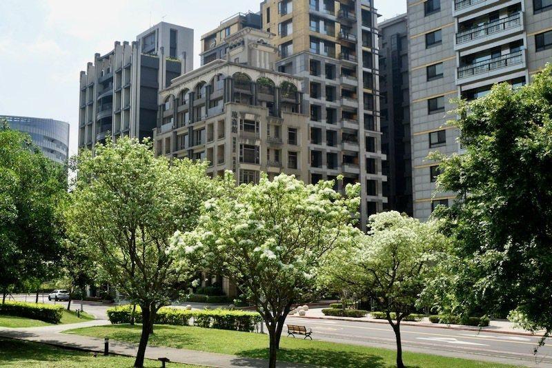 以高樓當背景,明美公園的流蘇樹,從樹的高度來看,樹齡是年輕的。