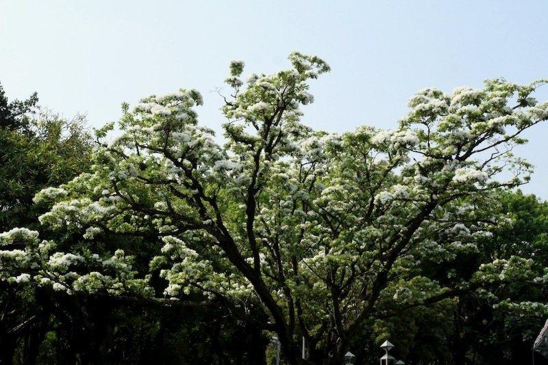 二二八和平公園的「流蘇王」,已花開九成多了。