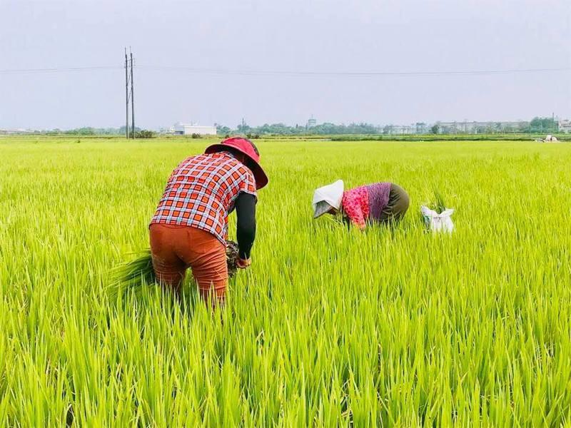 台灣農業缺工嚴重,現階段田裡僅剩下千歲團,以及移工撐起台灣農業一片天。本報資料照片