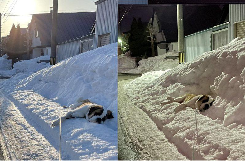 北海道一位網友發現路邊有隻聖伯納犬,疑似因為怕熱,竟然從早到晚都趴在同一個雪堆上動也不動。圖擷取自twitter