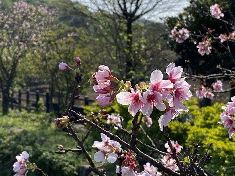 三芝區三生步道櫻花季接近尾聲,希望市集旁還有一塊蘿蔔田正好可以體驗採收。 圖/紅樹林有線電視提供