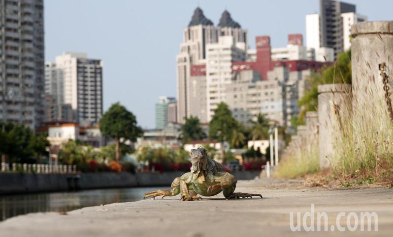 近日到愛河之心河堤旁運動的民眾,有人發現綠鬣蜥大喇喇現蹤。記者劉學聖/攝影