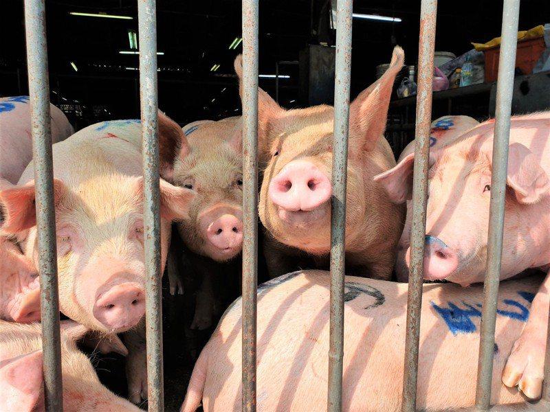 南投縣農產運銷公司以擴音器,在繫留欄播放佛經給豬聽。記者賴香珊/攝影