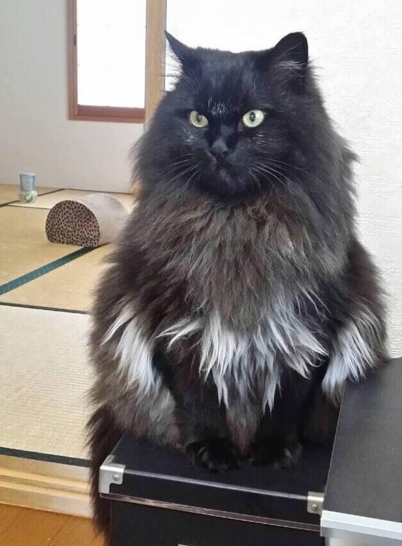長毛貓Choco的身上發生了一宗可愛的意外。(Twitter@kohaku_komugi)