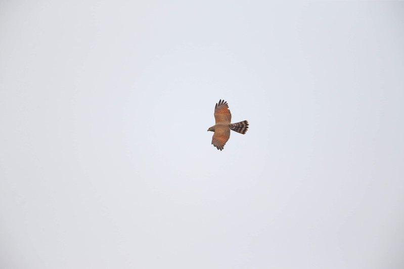 彰化野鳥學會觀察光是今天就有4千多隻灰面鵟鷹飛過。圖/彰化野鳥學會提供