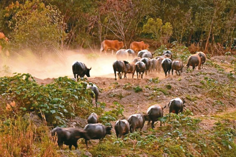 彰化與台中交界的貓羅溪畔河床,約有一百卅頭逐水草的牛群,奔騰時非常壯觀。圖/楊淑貞提供