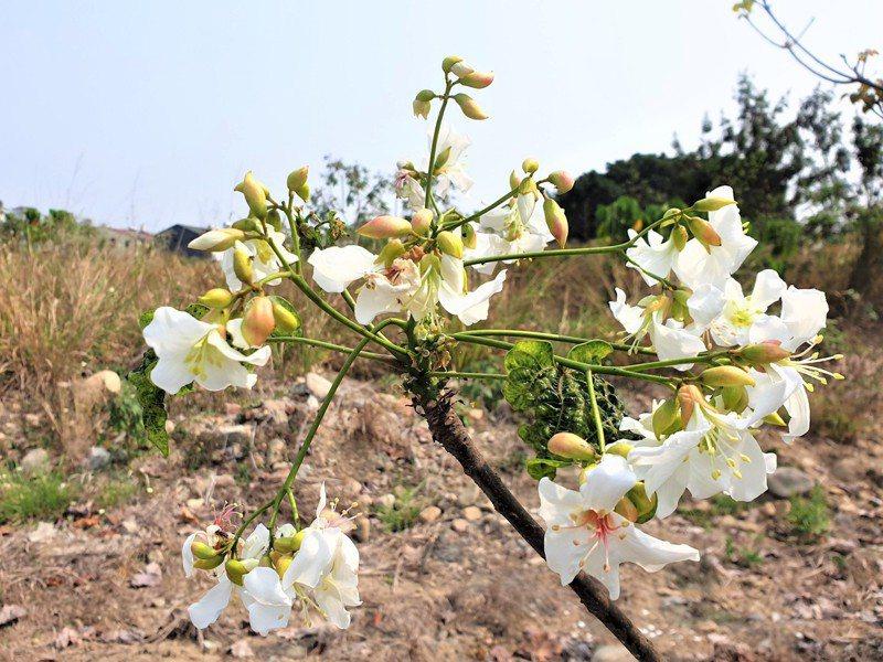 受乾旱影響,南投縣目前桐花開不到1成,草屯地區偶見白花,也因缺水開得毫無生氣。記者賴香珊/攝影